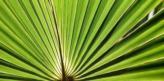 ساوپالمتو (نخل اره ای) برای درمان ریزش مو: معجزه یا افسانه؟